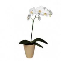 Orquidea Phalaenopsis, Dominicana