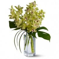 Orquídeas Cymbidium, Dominicana